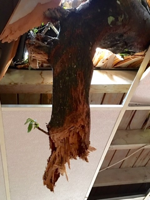 Wind Damage Tree Through Roof Coconut Creek